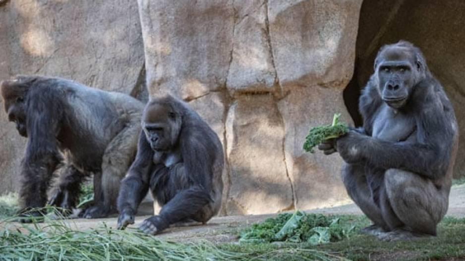 Gorillas covid-positive