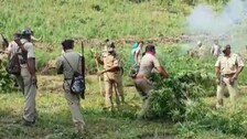 Gajapati: Ganja Cultivation Worth Over Rs 17 Crore Set On Fire