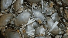 Boost Up For Aquaculture Sector: Innovative Mud Crab Hatchery Technology Gets Patent