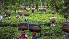Tales Of The Tea Tribes
