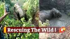 Forest Personnel Rescue 2 Elephants Stuck In Swamp At A Stone Quarry In Odisha's Athagarh