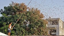 Amid COVID19 & Black Fungus Emergence, UP Farmers Warned Of Possible Locust Attack