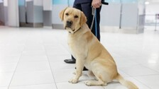 Sniffer Dogs Show 88% Accuracy In Detecting Covid: UK Study