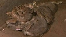 Two Detained For Selling Monitor Lizard Meat In Bhubaneswar, 5 Reptiles Rescued