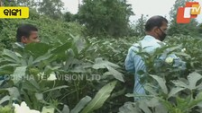 Covid Restrictions Leave Banki Vegetable Farmers In Lurch