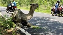 Abandoned By Owner, Ailing Camel Dies In Odisha's Ganjam