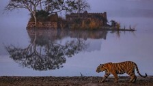 DNA Profiling Of Big Cats In Odisha Soon; One More Tiger Reserve, 3 Sanctuaries On Cards