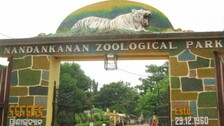 Panic In Nandankanan Zoo As Tiger Escapes Fence, Later Spotted Inside Safari