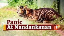 Tiger Escapes Enclosure At Nandankanan Zoo & Causes Panic; Later Spotted Within Safari