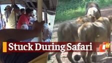 Bus Gets Stuck During Lion Safari In Odisha's Nandankanan Zoo