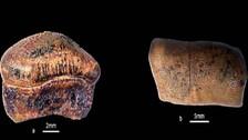Strophodusjaisalmerensis - Jurassic Era New Shark Species Discovered In Jaisalmer