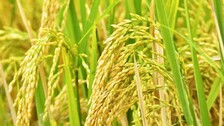 NRRI Cuttack Develops High-Nourished Paddy Variety