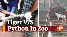 Tiger-Python Battle Breaks Inside Nandankanan Zoo In Bhubaneswar