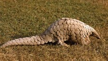 Wildlife Smuggling: Odisha Police STF Rescues Pangolin, Arrests 2 Persons From Khordha
