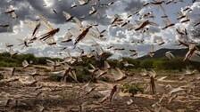 Locust Warning Sounded In Odisha