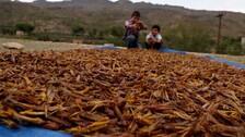Prolonged Monsoon In Indo-Pak Region Drove Recent Locust Outbreak: Scientists