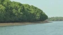 Mangroves, Odisha's Shield Against Nature's Fury Now At The Mercy Of Prawn Mafia