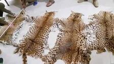 Seven Arrested With Seizure Of Nine Tiger Skins In Two Days In Kalahandi