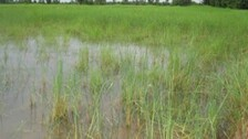 Odisha Rains: Crops Over 2000 Hectares Of Land, 483 Houses Damaged In Mayurbhanj