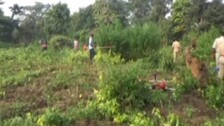 Odisha: Ganja Cultivation Worth Rs 80 Lakh Destroyed In Boudh
