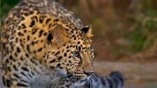 6-YO Odisha Boy Killed In Leopard Attack Near Chhattisgarh Temple