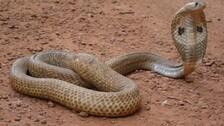 Man Bites Snake, Kills The Serpent In Odisha